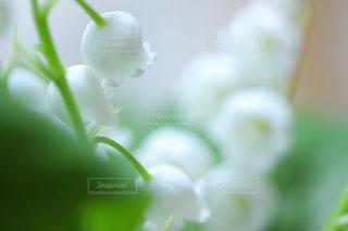 すずらんの花の写真・画像素材[1189186]