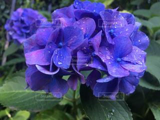 紫陽花の写真・画像素材[1187668]