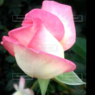 気品のある薔薇の花の写真・画像素材[1187994]