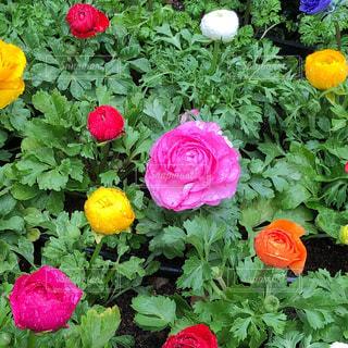 色とりどりの花のグループの写真・画像素材[1187995]