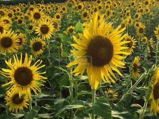ひまわり畑の写真・画像素材[1189815]