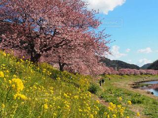 河津桜です。初春に見られる桜です。の写真・画像素材[1277985]