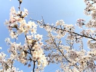 桜の写真・画像素材[1197856]