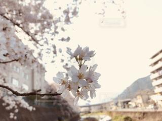 川辺の桜の写真・画像素材[1198012]