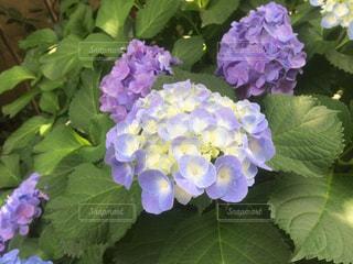 紫陽花の写真・画像素材[1189952]
