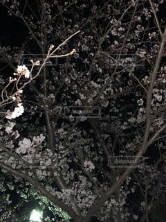 yozakuraの写真・画像素材[1190295]