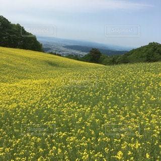 菜の花 - No.38766