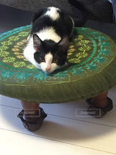 ハチワレ猫の写真・画像素材[1190785]