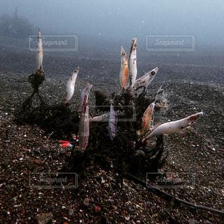 小田原湾海底の餌木玉の写真・画像素材[1190833]