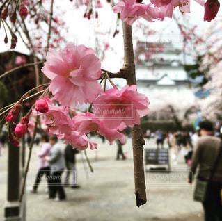 小田原城の桜の写真・画像素材[1190844]