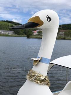白樺湖のスワンボートの写真・画像素材[1272149]