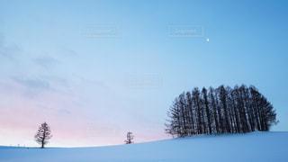 マイルドセブンの木の写真・画像素材[1191294]