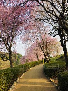 道の端に桜の木の写真・画像素材[1192143]