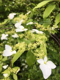 植物の白い花の写真・画像素材[1193660]