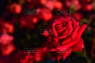 バラの花の写真・画像素材[1199501]