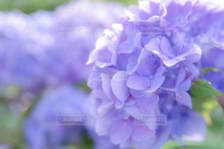 紫陽花の写真・画像素材[1236835]