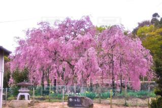 想い出桜の写真・画像素材[1280254]