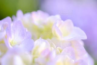 紫陽花の写真・画像素材[1280258]