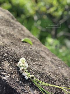 White Cloverの写真・画像素材[1265057]