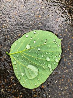 葉っぱの雨粒の写真・画像素材[1281160]