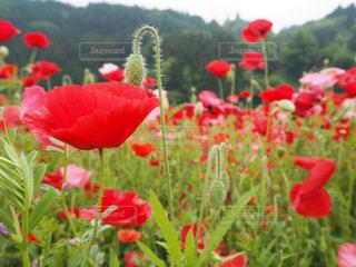 フィールドに赤い花の写真・画像素材[1193044]