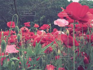 赤い花の写真・画像素材[1193141]