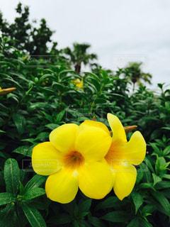 黄色の花の写真・画像素材[1200258]