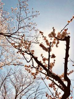 桜を見上げる - No.1195069