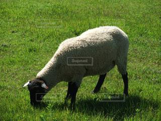 緑豊かな緑のフィールドの上に羊の立っている数の写真・画像素材[1196055]