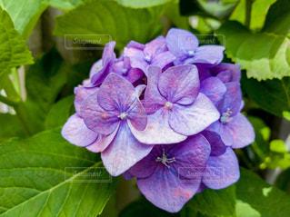 アジサイ 紫色の写真・画像素材[1249031]