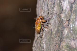 セミの幼虫の写真・画像素材[1355306]