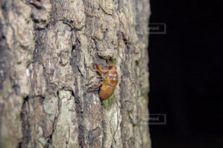 セミの幼虫の写真・画像素材[1355307]