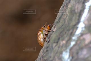 セミの幼虫の写真・画像素材[1355308]
