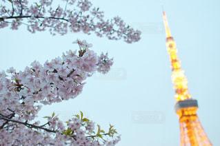 東京タワーと桜の写真・画像素材[1194963]