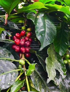 コロンビアコーヒーの写真・画像素材[1195703]