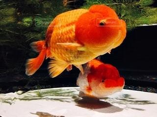 オレンジ色の魚の口を開いての写真・画像素材[1206782]