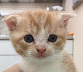 カメラを見てオレンジと白猫の写真・画像素材[1195722]