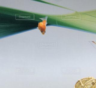 ピンポンパールの写真・画像素材[1196453]