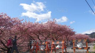 河津桜の写真・画像素材[1255225]