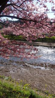 河津桜の写真・画像素材[1255229]