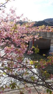 河津桜と橋の写真・画像素材[1255230]
