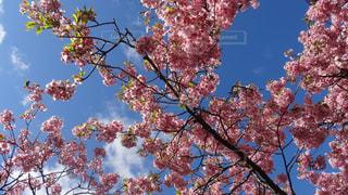 河津桜の写真・画像素材[1255231]
