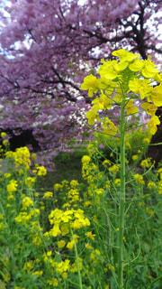 菜の花と桜の写真・画像素材[1255233]