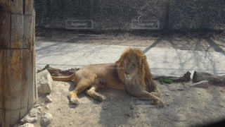 寝そべるライオンの写真・画像素材[1256644]