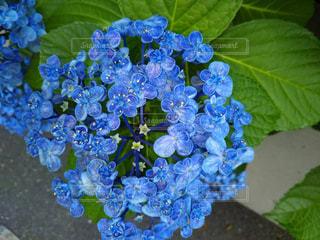 青の紫陽花の写真・画像素材[1263339]