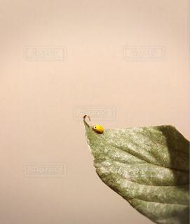 黄色いてんとう虫の写真・画像素材[1272466]