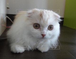 びっくり顔のネコの写真・画像素材[1289750]