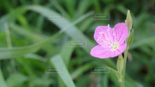 ピンクの花の写真・画像素材[1301453]