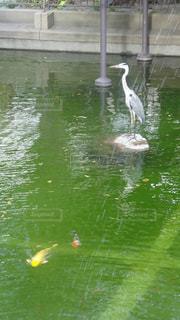 鷺と鯉の写真・画像素材[1397892]