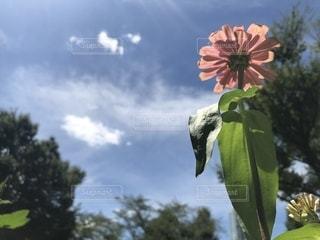 ピンクのダリアの写真・画像素材[1397931]